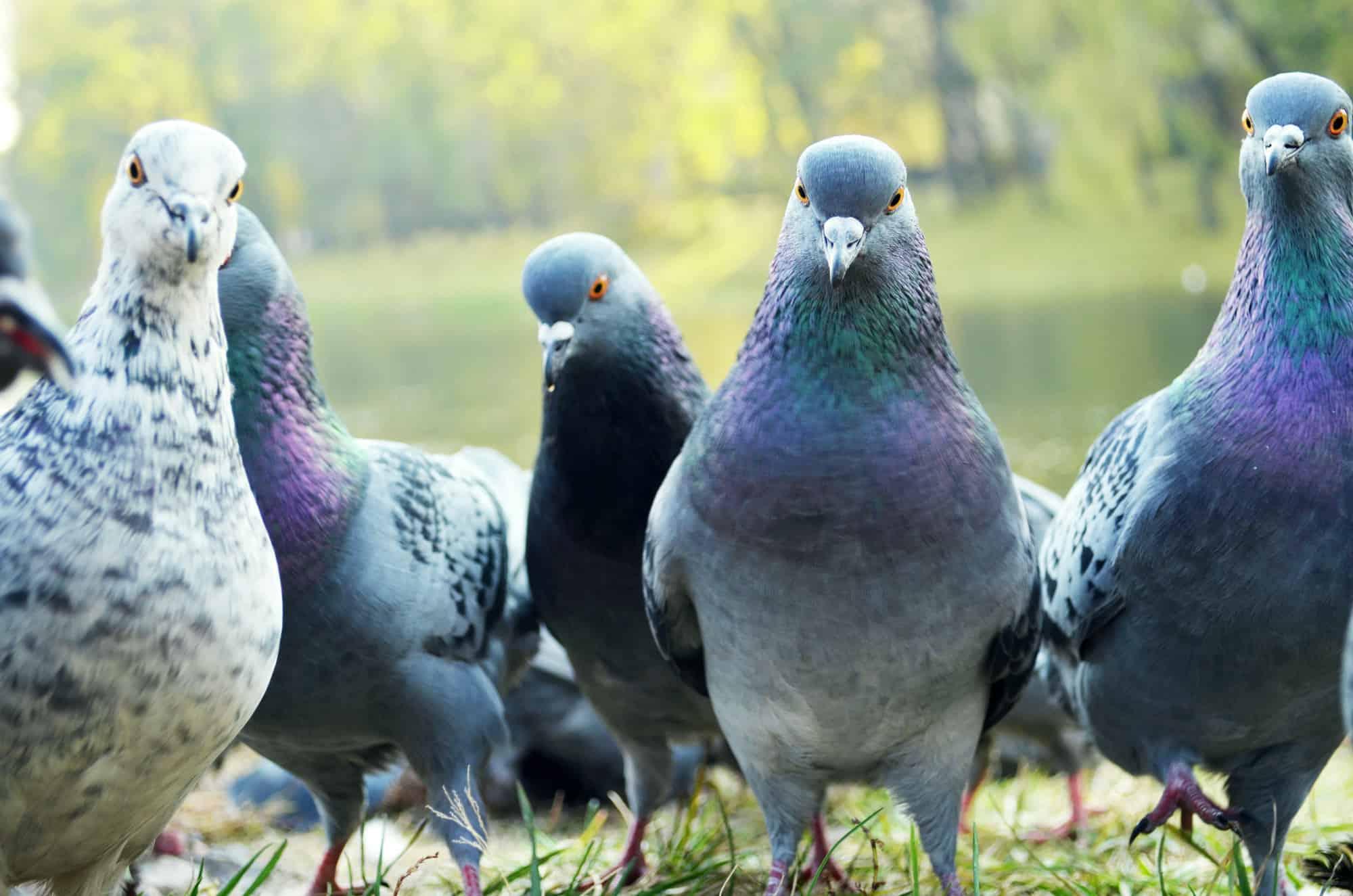 bird-pest-control