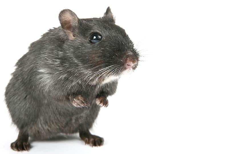 rat pest services