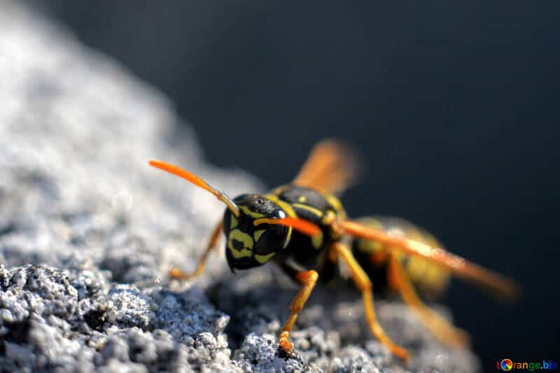 wasp-pest-services