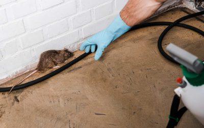 rat pest control bury