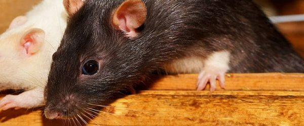 rodent control manchester